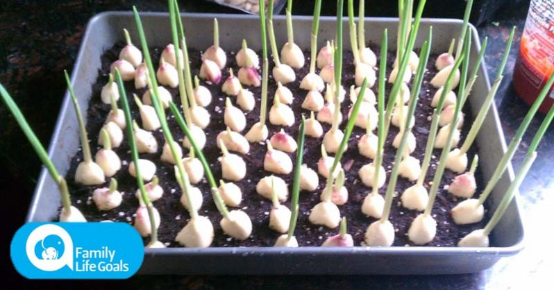 Image of How to grow an endless supply of garlic at home