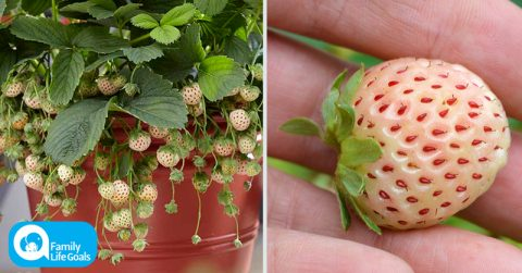 Image of How to grow REAL organic strawberries at home that taste like pineapples