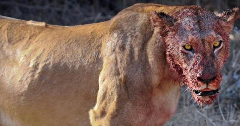 Image of Lions Allegedly Eat Would Be 'Rhino Poachers' on South African Game Reserve
