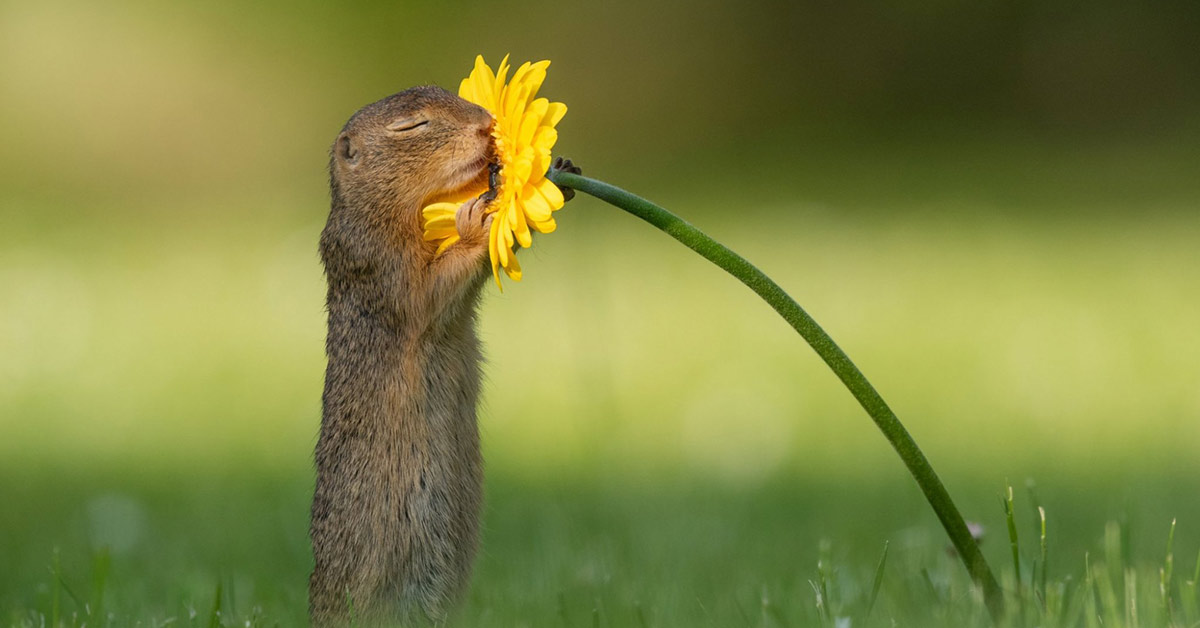 Photographer Captures Moment Wild Squirrel Stops to Smell a Sunflower