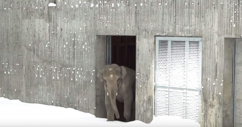 Image of Oregon zoo closes after a snowstorm but the animals still come out to play