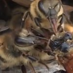 These Kind Bees Unite to Save Their Friend's Life