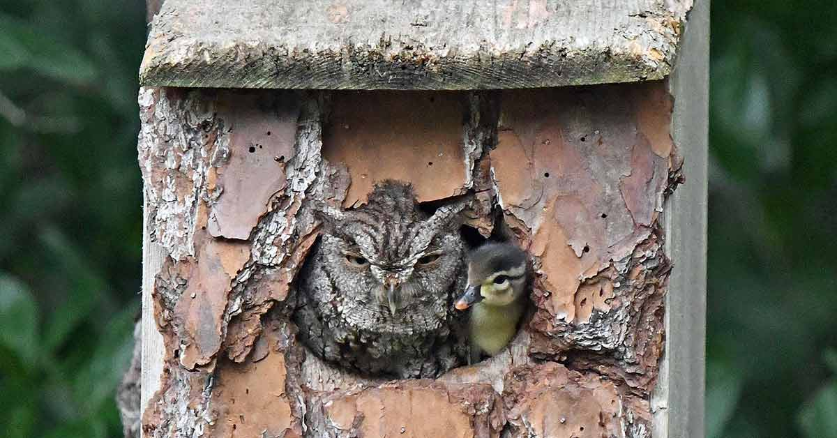 Photographer Captures Moment Mother Owl Takes Baby Duckling After Mistaking A Duck's Eggs For Its Own