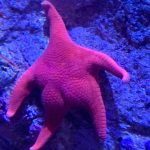 Photo of Starfish At an Aquarium With A Big Booty Goes Viral