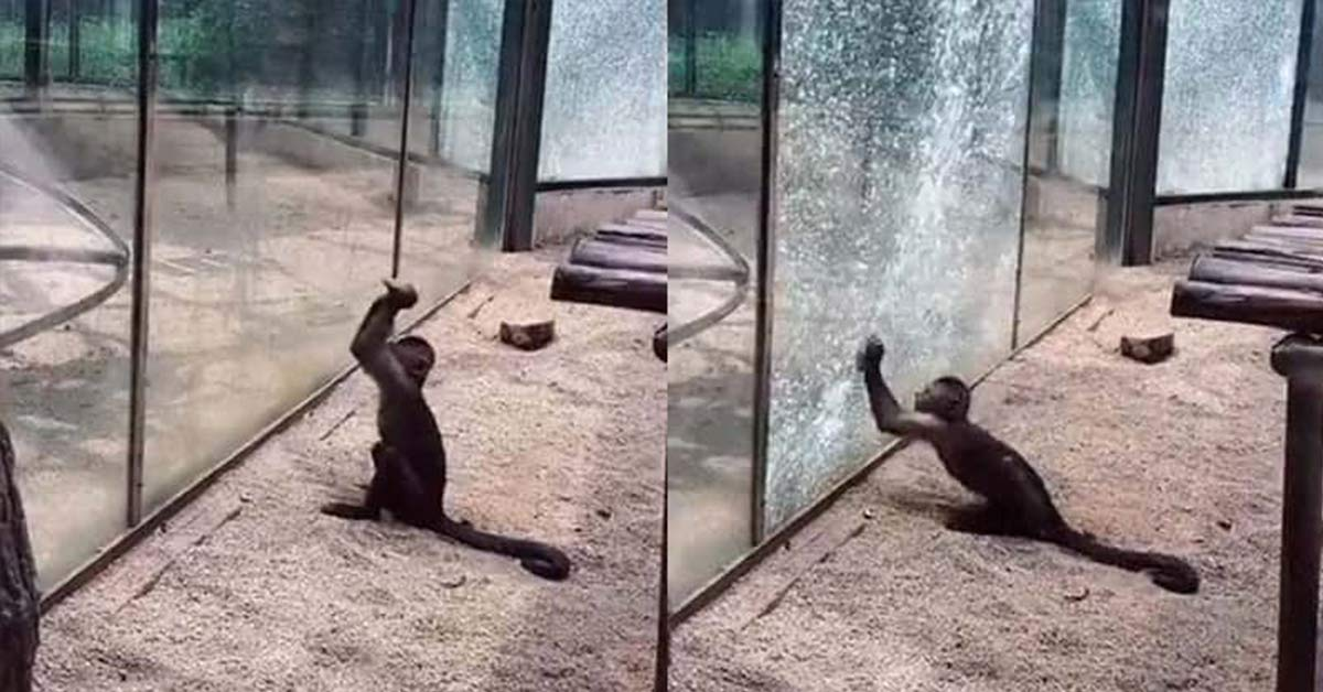 Zoo Monkey Sharpens A Rock, Uses It To Shatter Glass Enclosure in Impressive Prison Break Attempt