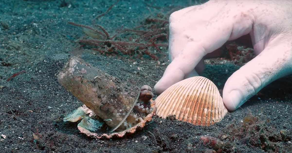 Diver Persuades Baby Octopus To Use A Shell For Protection Instead Of A Plastic Cup