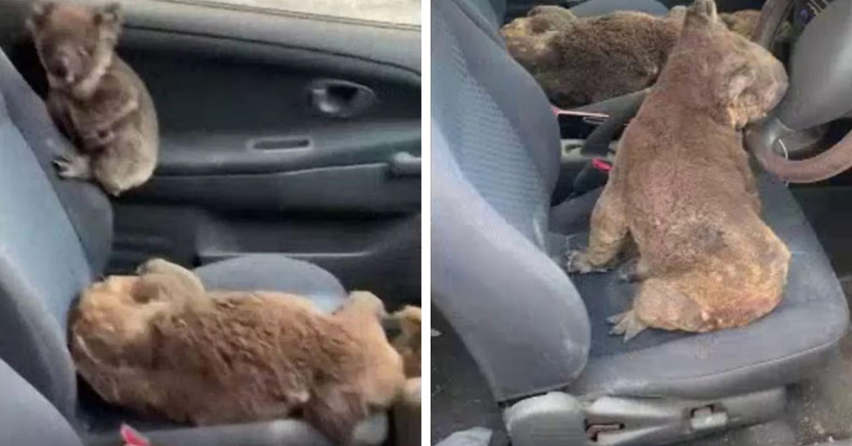 Two Australian Teens Drive around Rescuing Koalas Wounded From The Devastating Fires