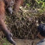 Photographer captures the incredible moment an orangutan offers to save man's life