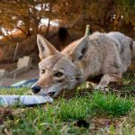 Delivery Guy Outfoxes A Wily Coyote That Keeps Stealing His Newspapers