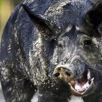 Wild Hogs in Italy Destroyed $22K Worth of Cocaine Buried In the Woods