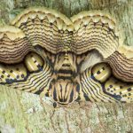 Photographer Captures Stunning Footage of a Giant Brahmin Moth with Tiger Eye Wing Pattern