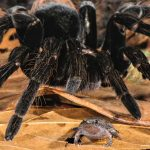 These Giant Tarantulas Are Best Friends with Tiny Frogs and the Relationship Is One of Nature's Best