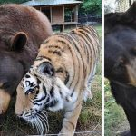 The World's First and Only BLT Team: Bear, Lion and Tiger Brothers That Never Left Each Other's Side for 15 Years
