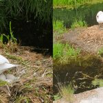 Swan Dies of A Broken Heart After Cruel Teenagers Kill Her Unborn Babies With Brick