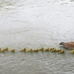 Mother Goose Takes Care Of 47 Goslings And Keep Them All Safe