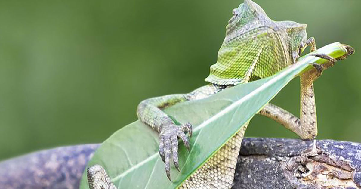 The Coolest Dragon Lizard Ever Caught Playing Leaf Guitar In Indonesia