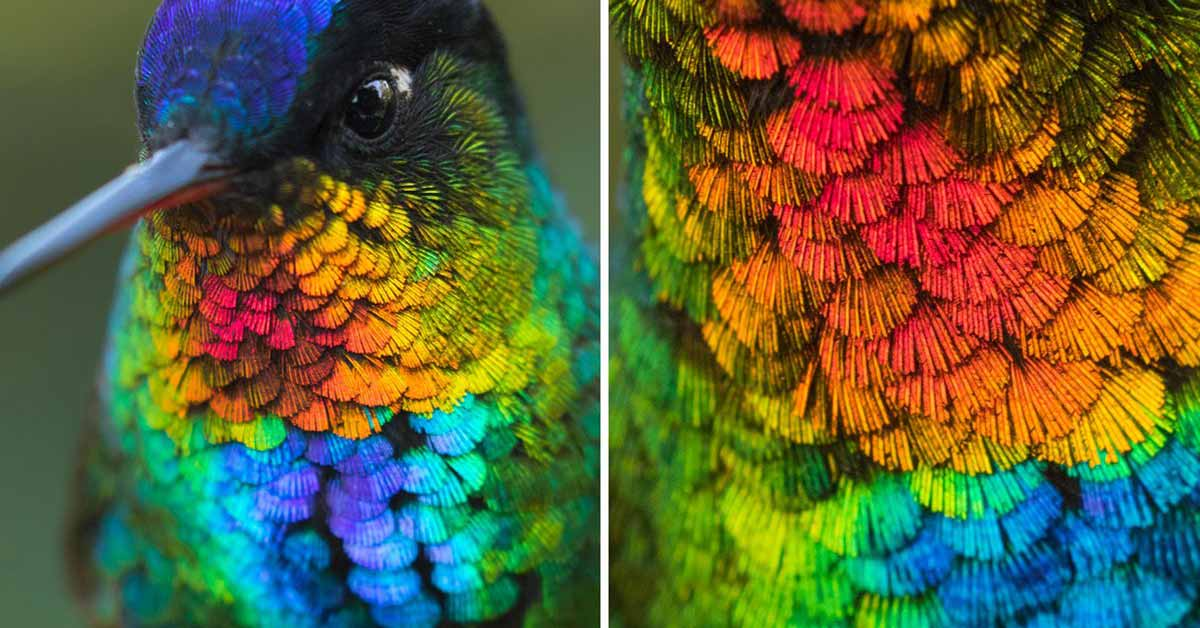 An Amazing Close-Up View Of A Fiery-Throated Hummingbird