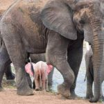 Extremely Rare 'Pink' Albino Elephant Calf Discovered In South Africa