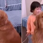 Loyal Golden Retriever 'Protects' Crying Girl As She's Told Off By Her Mother