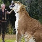 Meet Hercules the Liger, The World's Largest Living Cat