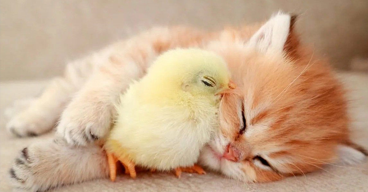 kitten and chick napping